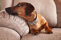Dachshund on a sofa. Dachshund on sofa at home Royalty Free Stock Images