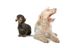Dachshund and Spinone Italiano Royalty Free Stock Photos