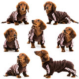 Dachshund in a sports suit Royalty Free Stock Photography