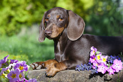 Dachshund and spring flowers Stock Photography