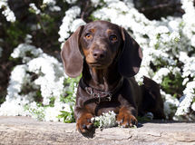 Dachshund and spring flowers Stock Image