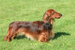 Dachshund Standard dog  in the spring garden Royalty Free Stock Photos