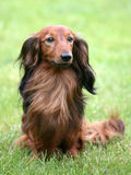 Dachshund Standard Long-haired on a green grass Stock Photos