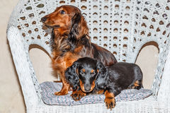 Dachshund standard longhaired red and black and tan - hunting dog Stock Image