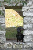 Dachshund standing into brick arch of stone old wall Royalty Free Stock Image