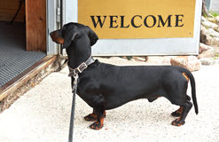 Dachshund standing at the entrance door Royalty Free Stock Photo