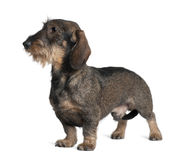 Dachshund, standing and looking away Royalty Free Stock Photography