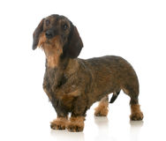 Dachshund standing Royalty Free Stock Images