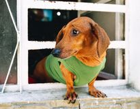 Dachshund standing in a window stock image