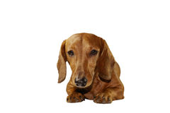 Dachshund-staring-portrait. Isolated purebred short-haired dachshund Royalty Free Stock Photography