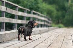 Dachshund stay on the bridge and lokking into distance royalty free stock image