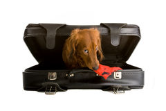 Dachshund in suitcase Royalty Free Stock Images