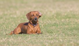 Dachshund sunbathing in the meadow. Dachshund lying on the grass sunbathing placidly stock image
