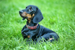 Dachshund superior Fotos de Stock Royalty Free