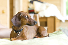 Dachshund sur un sofa Photo libre de droits