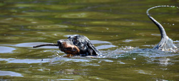 Dachshund swimming Stock Images
