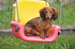 Dachshund swing Stock Photography
