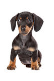 Dachshund, Teckel puppy Royalty Free Stock Photo