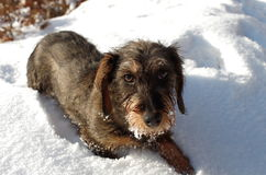 Dachshund - Teckel. Young Dachshund Coarse haired in the snow Stock Image