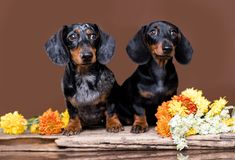 Free Dachshund The Dog And Flowers Royalty Free Stock Photos - 118230498