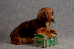 Dachshund and treasure box Stock Photos