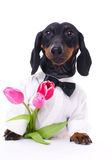Dachshund with tulips Stock Image