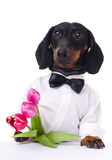 Dachshund with tulips Royalty Free Stock Photo
