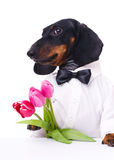 Dachshund with tulips Royalty Free Stock Images