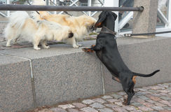 Dachshund  and two Shih Tzu Stock Images