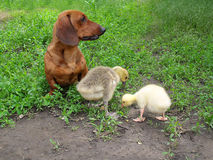 Dachshund and two small gooses on a green grass Royalty Free Stock Photography