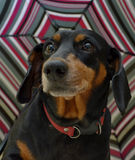 Dachshund under umbrella Stock Photography