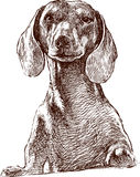 Dachshund. Vector drawing of the portrait of dachshund Royalty Free Stock Photography