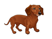 Dachshund. Royalty Free Stock Photography