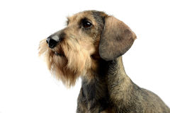 Dachshund waching in a white photo studio. Dachshund waching in a white studio Royalty Free Stock Images