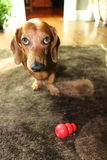 Dachshund Waiting to Play Royalty Free Stock Photos