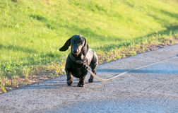 Dachshund for a walk on footpath Royalty Free Stock Images