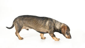 Dachshund walking Stock Photos