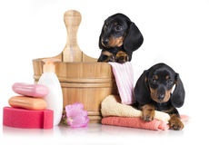Dachshund Washing puppies in a tub, grooming. Puppy bath time - Dachshund puppy in wooden wash basin Royalty Free Stock Photos