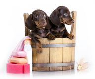 Dachshund Washing puppies in a tub, grooming. Puppy bath time - Dachshund puppy in wooden wash basin Stock Photos