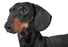 Dachshund watching in a white background in studio. Dachshund watching in white background in studio Royalty Free Stock Images