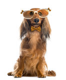 Dachshund, wearing glasses and a bow tie Stock Photography