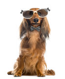 Dachshund, wearing glasses and a bow tie Royalty Free Stock Photography