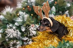 Dachshund wearing reindeer antlers and looking pensive. stock image