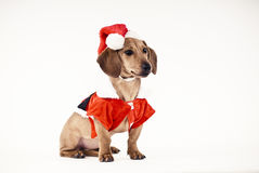 Dachshund wearing Santa dress Stock Photography