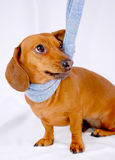 Dachshund wearing a scarf Stock Photography