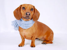 Dachshund wearing a scarf Royalty Free Stock Photography