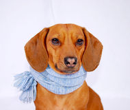 Dachshund wearing a scarf Royalty Free Stock Photo