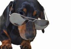 Smart Dachshund. Close up of Dachshund Dog Wearing Pair of Sun glasses stock image