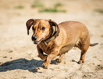 Dachshund went for a walk Royalty Free Stock Image