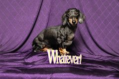 Dachshund Whatever! Stock Photos